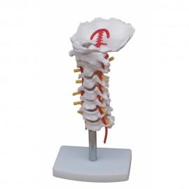 608 Kręgi szyjne z tętnicą grzbietową MA – 133