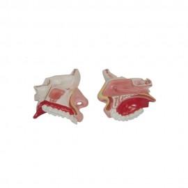 2439 Model anatomiczny jamy nosowej MA – 309