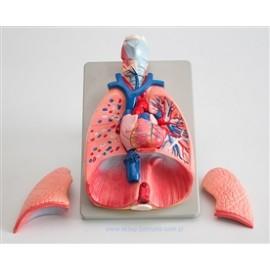 2507 Płuca krtań serce powiększony model płuc, krtań