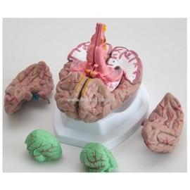 2510 Mózg - model mózgu z arteriami 8 części