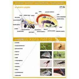 029 Anatomia pajęczaków