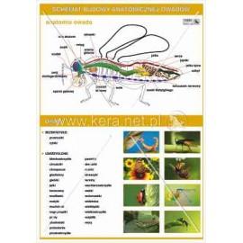 030 Anatomia owadów