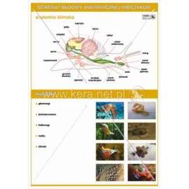 036 Anatomia mięczaków