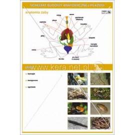 037 Anatomia płazów