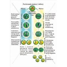 054 Porównanie mejozy i mitozy