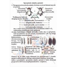 057 Sprzężenie między genami