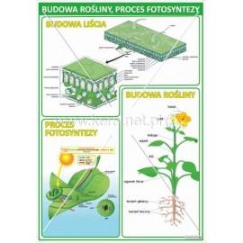 929 Budowa rośliny, proces fotosyntezy