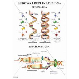 932 Budowa DNA, replikacja DNA