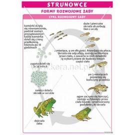 1761 Formy rozwojowe żaby