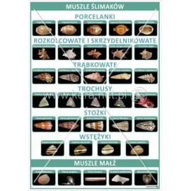 3060 Muszle ślimaków i małż